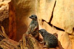 Meerkat Immagini Stock Libere da Diritti