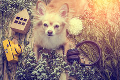 La seduta sveglia del cane di marrone della chihuahua si rilassa con la macchina fotografica del fiore ed è Fotografia Stock Libera da Diritti