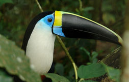 La selva tropical del ecuadorian toucan Foto de archivo