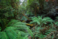 La selva tropical enorme de Tasmania Foto de archivo libre de regalías