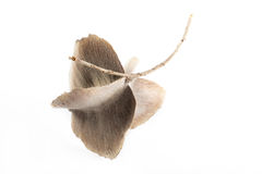 La semilla coa alas Foto de archivo