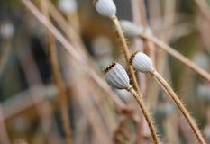 La semilla de amapola seca dirige macro Imagen de archivo