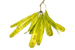 La semilla del acacia es una verdura especial imágenes de archivo libres de regalías