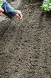 La semina dei semi della cipolla Fotografia Stock Libera da Diritti