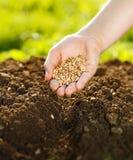 La semina del cereale a mano Fotografia Stock Libera da Diritti