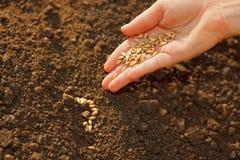 La semina del cereale a mano Immagine Stock