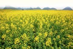 La senape gialla luminosa è in fioritura Landsca scenico del campo della senape immagini stock