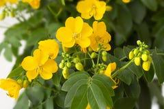 La senna Cassia Corymbosa fiorisce il primo piano fotografia stock libera da diritti
