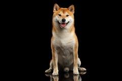 La sentada de pedigrí del perro del inu de Shiba, sonriendo, mira fondo curioso, negro foto de archivo libre de regalías