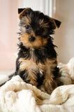 La sentada del perrito de Yorkshire Terrier, 3 meses, aislados en blanco hizo punto la manta Foto de archivo