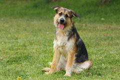 La sentada del perro de la raza del pastor inclina a su cabeza que escucha con cuidar y una mirada alegre imagenes de archivo