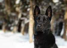 La sentada fuerte negra del perro y considera el bosque de la nieve de la naturaleza Fotos de archivo libres de regalías