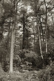 La sepia entonó árboles Fotografía de archivo