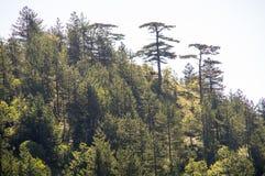 La Serbia: Foresta alpina nelle alpi di Dinaric Immagine Stock