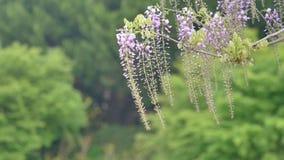 La serie dei fiori della primavera, il bello traliccio che ondeggia nel vento, glicine cinesi di glicine di sinensis di glicine  archivi video
