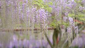 La serie dei fiori della primavera, il bello traliccio che ondeggia nel vento, glicine cinesi di glicine di sinensis di glicine  video d archivio