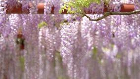 La serie dei fiori della primavera, il bello traliccio che ondeggia nel vento, glicine cinesi di glicine di sinensis di glicine  stock footage