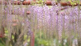 La serie dei fiori della primavera, il bello traliccio che ondeggia nel vento, glicine cinesi di glicine di sinensis di glicine è stock footage