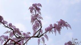 La serie dei fiori della primavera, il bello traliccio che ondeggia nel vento, glicine cinesi di glicine di sinensis di glicine ? stock footage