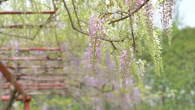La serie dei fiori della primavera, il bello traliccio che ondeggia nel vento, glicine cinesi di glicine di sinensis di glicine ? archivi video