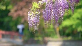 La serie dei fiori della primavera, il bello traliccio che ondeggia nel vento, glicine cinesi di glicine di sinensis di glicine ? video d archivio