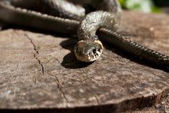 La serpiente Fotos de archivo libres de regalías