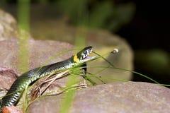 La serpiente. Fotografía de archivo libre de regalías