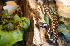 La serpiente Fotografía de archivo libre de regalías