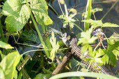 La serpiente atacó la rana Fotografía de archivo libre de regalías
