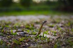 La serpiente de agua se levanta foto de archivo