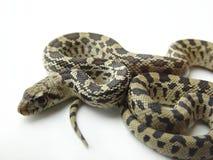 La serpiente de Bull también llamó a Gopher   imagen de archivo libre de regalías