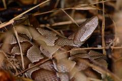 La serpiente de Copperhead en espiral alista para pegar Imágenes de archivo libres de regalías