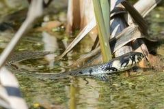 La serpiente de hierba Imagen de archivo libre de regalías