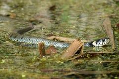 La serpiente de hierba Fotografía de archivo libre de regalías