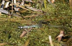 La serpiente de hierba Imagen de archivo
