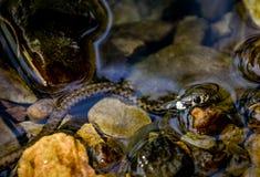 La serpiente de hierba del bebé o serpiente anillada o serpiente de agua Foto de archivo
