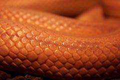 La serpiente de hierba está mudando - Ringelnatter foto de archivo