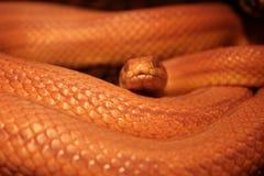 La serpiente de hierba está mudando - Ringelnatter fotografía de archivo