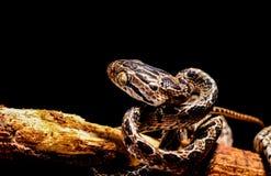 La serpiente en aislante Foto de archivo libre de regalías