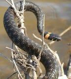 La serpiente en la rama Fotos de archivo