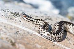 La serpiente europea, berus del Vipera en orilla de mar oscila Foto de archivo libre de regalías