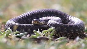 La serpiente grande miente pegando hacia fuera la lengua bifurcada almacen de video