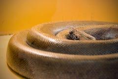 La serpiente grande se encrespó en un anillo foto de archivo libre de regalías