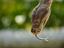 La serpiente le dice hola Fotografía de archivo
