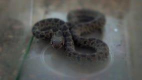 La serpiente lisa de la cámara lenta arrolló y saca el interior de la lengua de la caja de cristal almacen de video