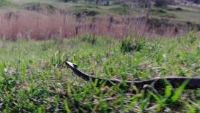 La serpiente se arrastra lejos rápidamente de búsqueda Primers de los vídeos de la serpiente o de la víbora almacen de video