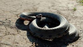 La serpiente se encrespa para arriba en la tierra, está listo en cualquier segundo para saltar y para picar a su víctima almacen de metraje de vídeo
