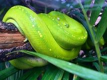 La serpiente verde imágenes de archivo libres de regalías