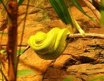 La serpiente verde se encrespó para arriba en una rama, foto del animal de la naturaleza Foto de archivo libre de regalías