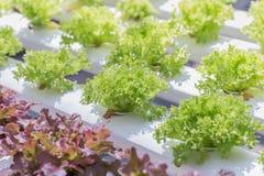 La serra del sistema di coltura idroponica e l'insalata organica delle verdure nella coltura idroponica coltivano Immagine Stock